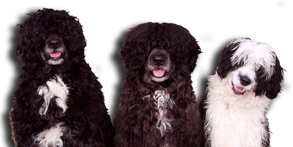 Caladesi Portuguese Water Dogs header