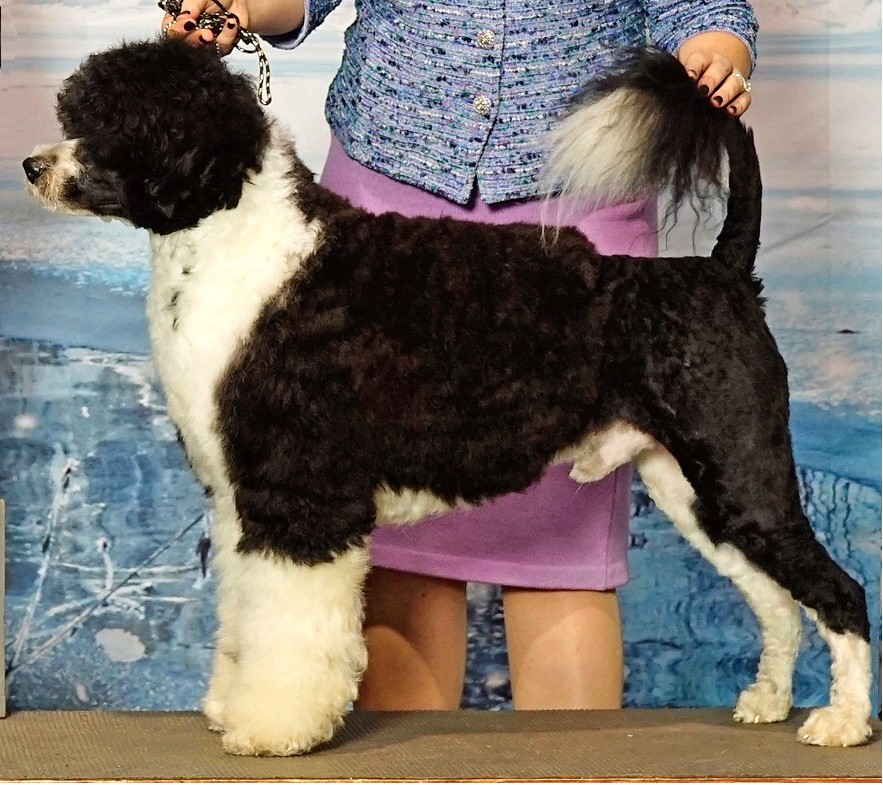 Banks, Portuguese Water Dog at Caladesi