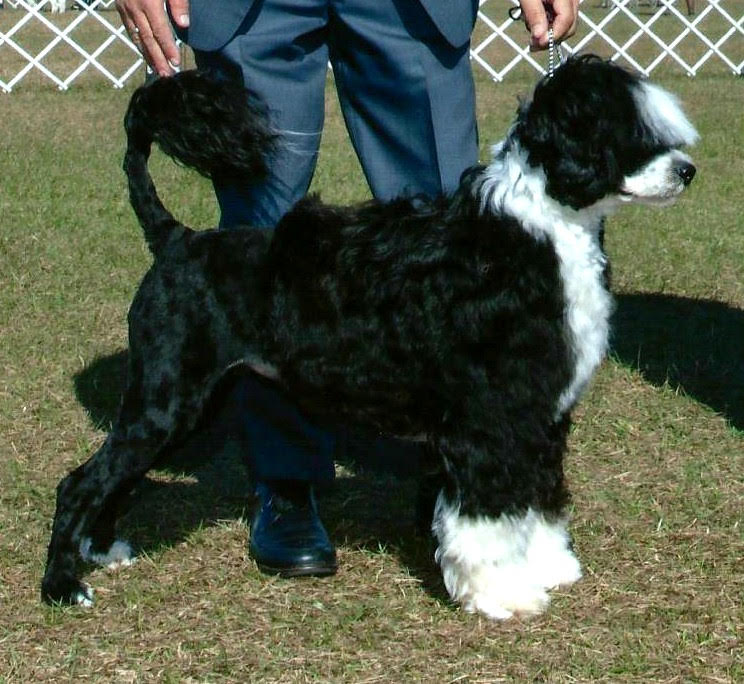 Candi, Portuguese Water Dog at Caladesi