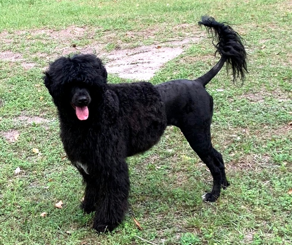 flame, Caladesi Portuguese Water Dog