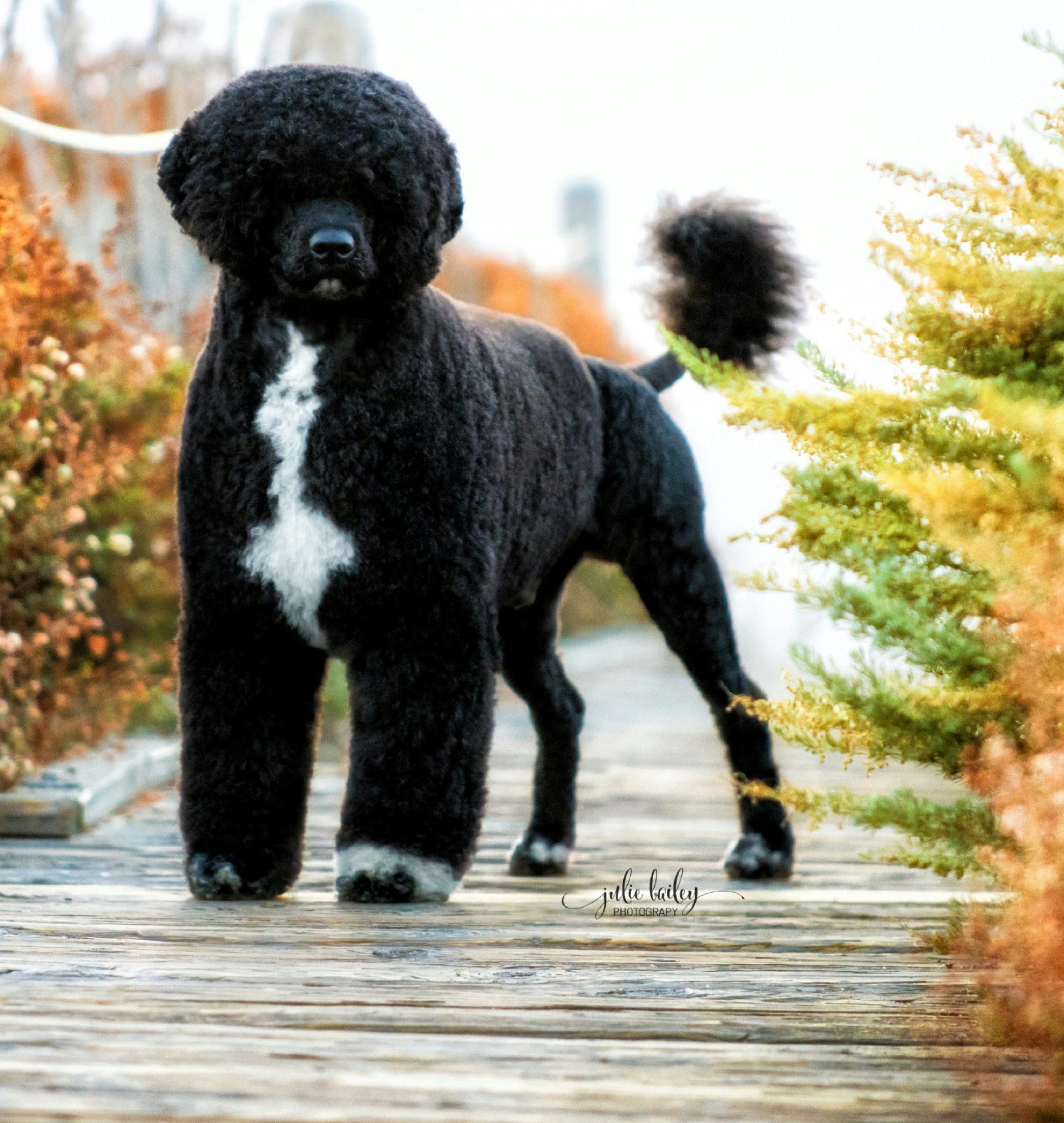 Patton, Portuguese Water Dog at Caladesi