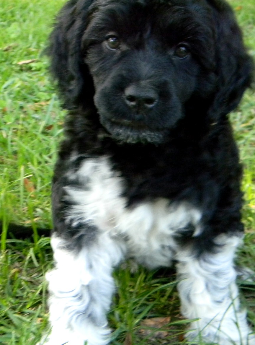Pepper, a Caladesi Portuguese Water Dog