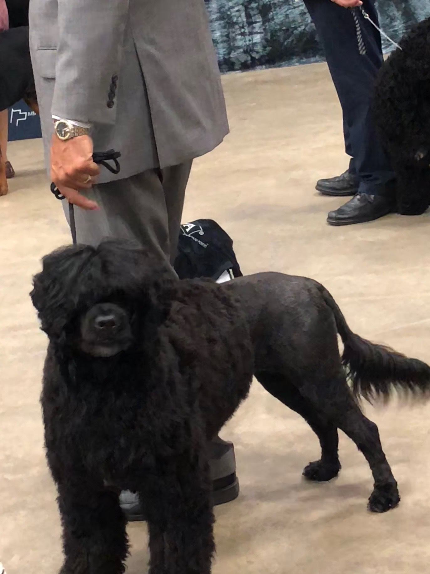 Savannah, a Caladesi Portuguese Water Dog